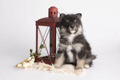 puppy149 week5 BowTiePomsky.com Bowtie Pomsky Puppy For Sale Husky Pomeranian Mini Dog Spokane WA Breeder Blue Eyes Pomskies Celebrity Puppy web2