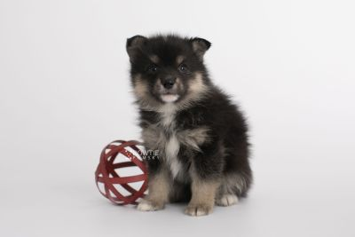 puppy149 week5 BowTiePomsky.com Bowtie Pomsky Puppy For Sale Husky Pomeranian Mini Dog Spokane WA Breeder Blue Eyes Pomskies Celebrity Puppy web7
