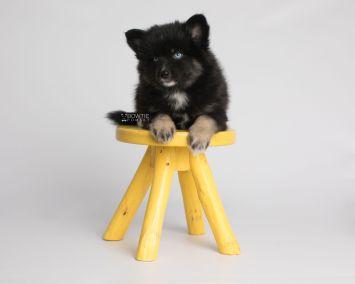 puppy149 week7 BowTiePomsky.com Bowtie Pomsky Puppy For Sale Husky Pomeranian Mini Dog Spokane WA Breeder Blue Eyes Pomskies Celebrity Puppy web6