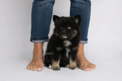 puppy149 week7 BowTiePomsky.com Bowtie Pomsky Puppy For Sale Husky Pomeranian Mini Dog Spokane WA Breeder Blue Eyes Pomskies Celebrity Puppy web7