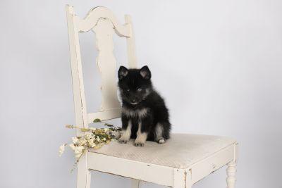 puppy150 week7 BowTiePomsky.com Bowtie Pomsky Puppy For Sale Husky Pomeranian Mini Dog Spokane WA Breeder Blue Eyes Pomskies Celebrity Puppy web1