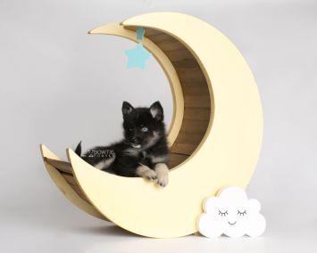 puppy150 week7 BowTiePomsky.com Bowtie Pomsky Puppy For Sale Husky Pomeranian Mini Dog Spokane WA Breeder Blue Eyes Pomskies Celebrity Puppy web2