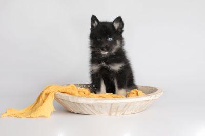 puppy150 week7 BowTiePomsky.com Bowtie Pomsky Puppy For Sale Husky Pomeranian Mini Dog Spokane WA Breeder Blue Eyes Pomskies Celebrity Puppy web3