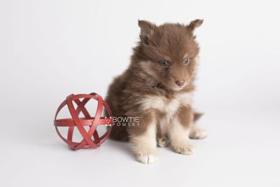 puppy151 week5 BowTiePomsky.com Bowtie Pomsky Puppy For Sale Husky Pomeranian Mini Dog Spokane WA Breeder Blue Eyes Pomskies Celebrity Puppy web5