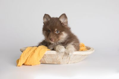 puppy151 week7 BowTiePomsky.com Bowtie Pomsky Puppy For Sale Husky Pomeranian Mini Dog Spokane WA Breeder Blue Eyes Pomskies Celebrity Puppy web3
