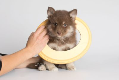 puppy151 week7 BowTiePomsky.com Bowtie Pomsky Puppy For Sale Husky Pomeranian Mini Dog Spokane WA Breeder Blue Eyes Pomskies Celebrity Puppy web5