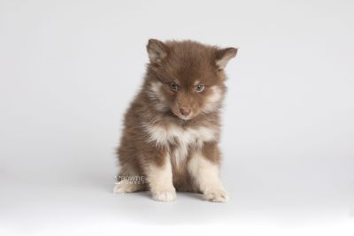 puppy151 week7 BowTiePomsky.com Bowtie Pomsky Puppy For Sale Husky Pomeranian Mini Dog Spokane WA Breeder Blue Eyes Pomskies Celebrity Puppy web7