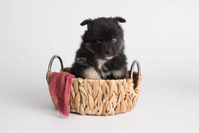 puppy152 week5 BowTiePomsky.com Bowtie Pomsky Puppy For Sale Husky Pomeranian Mini Dog Spokane WA Breeder Blue Eyes Pomskies Celebrity Puppy web3