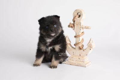 puppy152 week5 BowTiePomsky.com Bowtie Pomsky Puppy For Sale Husky Pomeranian Mini Dog Spokane WA Breeder Blue Eyes Pomskies Celebrity Puppy web4