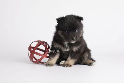 puppy152 week5 BowTiePomsky.com Bowtie Pomsky Puppy For Sale Husky Pomeranian Mini Dog Spokane WA Breeder Blue Eyes Pomskies Celebrity Puppy web5