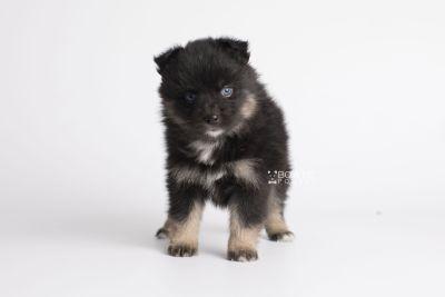 puppy152 week5 BowTiePomsky.com Bowtie Pomsky Puppy For Sale Husky Pomeranian Mini Dog Spokane WA Breeder Blue Eyes Pomskies Celebrity Puppy web6