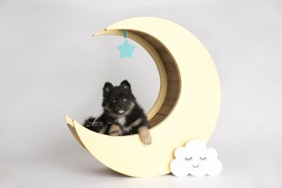 puppy152 week7 BowTiePomsky.com Bowtie Pomsky Puppy For Sale Husky Pomeranian Mini Dog Spokane WA Breeder Blue Eyes Pomskies Celebrity Puppy web2
