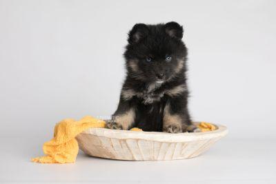 puppy152 week7 BowTiePomsky.com Bowtie Pomsky Puppy For Sale Husky Pomeranian Mini Dog Spokane WA Breeder Blue Eyes Pomskies Celebrity Puppy web3