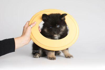 puppy152 week7 BowTiePomsky.com Bowtie Pomsky Puppy For Sale Husky Pomeranian Mini Dog Spokane WA Breeder Blue Eyes Pomskies Celebrity Puppy web4