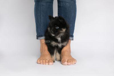 puppy152 week7 BowTiePomsky.com Bowtie Pomsky Puppy For Sale Husky Pomeranian Mini Dog Spokane WA Breeder Blue Eyes Pomskies Celebrity Puppy web8
