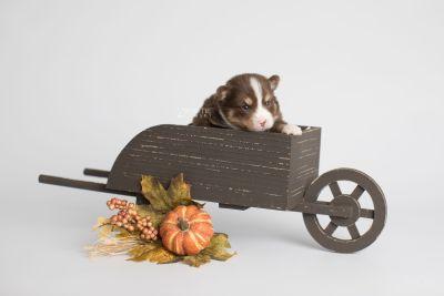 puppy153 week3 BowTiePomsky.com Bowtie Pomsky Puppy For Sale Husky Pomeranian Mini Dog Spokane WA Breeder Blue Eyes Pomskies Celebrity Puppy web1
