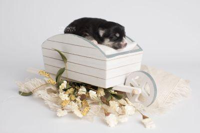 puppy154 week1 BowTiePomsky.com Bowtie Pomsky Puppy For Sale Husky Pomeranian Mini Dog Spokane WA Breeder Blue Eyes Pomskies Celebrity Puppy web2