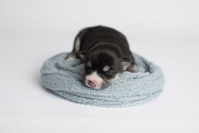 puppy154 week1 BowTiePomsky.com Bowtie Pomsky Puppy For Sale Husky Pomeranian Mini Dog Spokane WA Breeder Blue Eyes Pomskies Celebrity Puppy web5