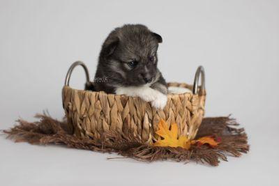 puppy154 week3 BowTiePomsky.com Bowtie Pomsky Puppy For Sale Husky Pomeranian Mini Dog Spokane WA Breeder Blue Eyes Pomskies Celebrity Puppy web4