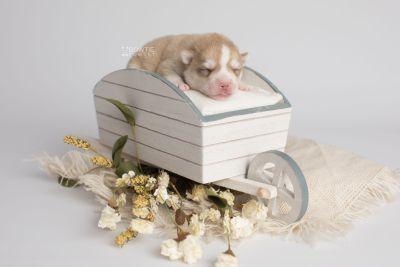 puppy155 week1 BowTiePomsky.com Bowtie Pomsky Puppy For Sale Husky Pomeranian Mini Dog Spokane WA Breeder Blue Eyes Pomskies Celebrity Puppy web2