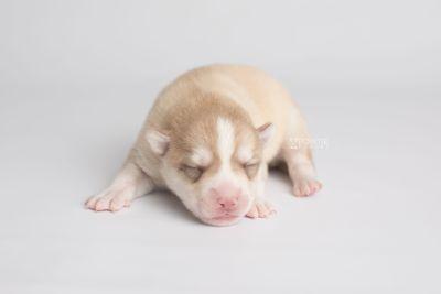 puppy155 week1 BowTiePomsky.com Bowtie Pomsky Puppy For Sale Husky Pomeranian Mini Dog Spokane WA Breeder Blue Eyes Pomskies Celebrity Puppy web7