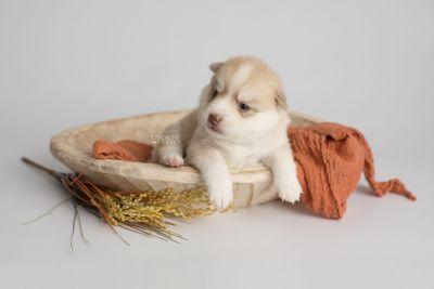 puppy155 week3 BowTiePomsky.com Bowtie Pomsky Puppy For Sale Husky Pomeranian Mini Dog Spokane WA Breeder Blue Eyes Pomskies Celebrity Puppy web3