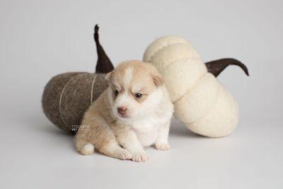puppy155 week3 BowTiePomsky.com Bowtie Pomsky Puppy For Sale Husky Pomeranian Mini Dog Spokane WA Breeder Blue Eyes Pomskies Celebrity Puppy web4
