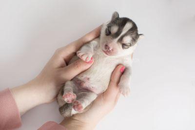 puppy156 week1 BowTiePomsky.com Bowtie Pomsky Puppy For Sale Husky Pomeranian Mini Dog Spokane WA Breeder Blue Eyes Pomskies Celebrity Puppy web10