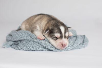 puppy156 week1 BowTiePomsky.com Bowtie Pomsky Puppy For Sale Husky Pomeranian Mini Dog Spokane WA Breeder Blue Eyes Pomskies Celebrity Puppy web7