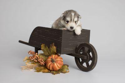 puppy156 week3 BowTiePomsky.com Bowtie Pomsky Puppy For Sale Husky Pomeranian Mini Dog Spokane WA Breeder Blue Eyes Pomskies Celebrity Puppy web2