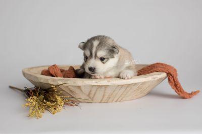 puppy156 week3 BowTiePomsky.com Bowtie Pomsky Puppy For Sale Husky Pomeranian Mini Dog Spokane WA Breeder Blue Eyes Pomskies Celebrity Puppy web3