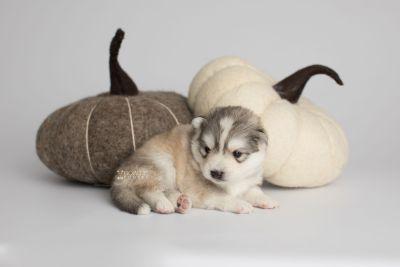 puppy156 week3 BowTiePomsky.com Bowtie Pomsky Puppy For Sale Husky Pomeranian Mini Dog Spokane WA Breeder Blue Eyes Pomskies Celebrity Puppy web5