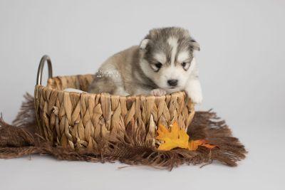 puppy156 week3 BowTiePomsky.com Bowtie Pomsky Puppy For Sale Husky Pomeranian Mini Dog Spokane WA Breeder Blue Eyes Pomskies Celebrity Puppy web6