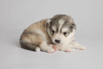 puppy156 week3 BowTiePomsky.com Bowtie Pomsky Puppy For Sale Husky Pomeranian Mini Dog Spokane WA Breeder Blue Eyes Pomskies Celebrity Puppy web7
