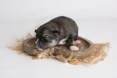 puppy158 week1 BowTiePomsky.com Bowtie Pomsky Puppy For Sale Husky Pomeranian Mini Dog Spokane WA Breeder Blue Eyes Pomskies Celebrity Puppy web4