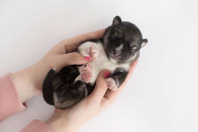 puppy158 week1 BowTiePomsky.com Bowtie Pomsky Puppy For Sale Husky Pomeranian Mini Dog Spokane WA Breeder Blue Eyes Pomskies Celebrity Puppy web9