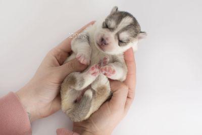 puppy160 week1 BowTiePomsky.com Bowtie Pomsky Puppy For Sale Husky Pomeranian Mini Dog Spokane WA Breeder Blue Eyes Pomskies Celebrity Puppy web10