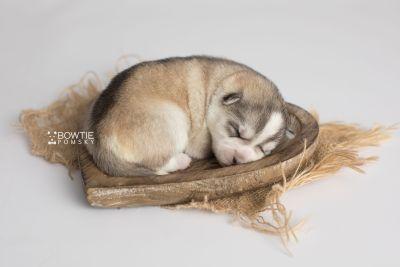 puppy160 week1 BowTiePomsky.com Bowtie Pomsky Puppy For Sale Husky Pomeranian Mini Dog Spokane WA Breeder Blue Eyes Pomskies Celebrity Puppy web5
