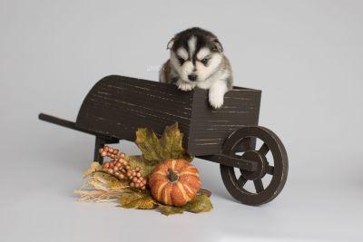 puppy160 week3 BowTiePomsky.com Bowtie Pomsky Puppy For Sale Husky Pomeranian Mini Dog Spokane WA Breeder Blue Eyes Pomskies Celebrity Puppy web2