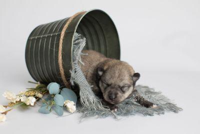 puppy162 week1 BowTiePomsky.com Bowtie Pomsky Puppy For Sale Husky Pomeranian Mini Dog Spokane WA Breeder Blue Eyes Pomskies Celebrity Puppy web1
