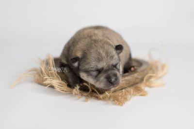 puppy162 week1 BowTiePomsky.com Bowtie Pomsky Puppy For Sale Husky Pomeranian Mini Dog Spokane WA Breeder Blue Eyes Pomskies Celebrity Puppy web3