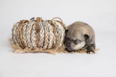 puppy162 week1 BowTiePomsky.com Bowtie Pomsky Puppy For Sale Husky Pomeranian Mini Dog Spokane WA Breeder Blue Eyes Pomskies Celebrity Puppy web4