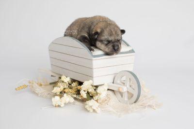 puppy162 week1 BowTiePomsky.com Bowtie Pomsky Puppy For Sale Husky Pomeranian Mini Dog Spokane WA Breeder Blue Eyes Pomskies Celebrity Puppy web5