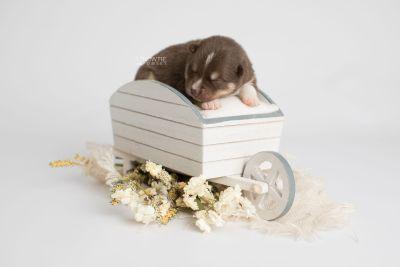 puppy163 week1 BowTiePomsky.com Bowtie Pomsky Puppy For Sale Husky Pomeranian Mini Dog Spokane WA Breeder Blue Eyes Pomskies Celebrity Puppy web4