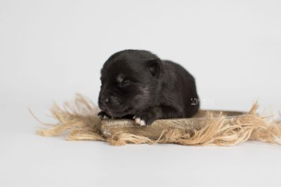puppy166 week1 BowTiePomsky.com Bowtie Pomsky Puppy For Sale Husky Pomeranian Mini Dog Spokane WA Breeder Blue Eyes Pomskies Celebrity Puppy web2
