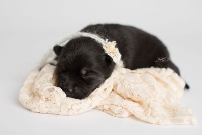 puppy166 week1 BowTiePomsky.com Bowtie Pomsky Puppy For Sale Husky Pomeranian Mini Dog Spokane WA Breeder Blue Eyes Pomskies Celebrity Puppy web4