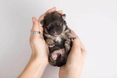 puppy168 week1 BowTiePomsky.com Bowtie Pomsky Puppy For Sale Husky Pomeranian Mini Dog Spokane WA Breeder Blue Eyes Pomskies Celebrity Puppy web10