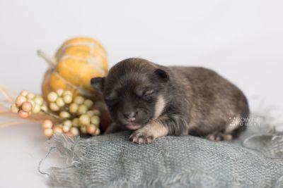 puppy168 week1 BowTiePomsky.com Bowtie Pomsky Puppy For Sale Husky Pomeranian Mini Dog Spokane WA Breeder Blue Eyes Pomskies Celebrity Puppy web2