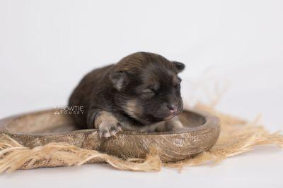 puppy168 week1 BowTiePomsky.com Bowtie Pomsky Puppy For Sale Husky Pomeranian Mini Dog Spokane WA Breeder Blue Eyes Pomskies Celebrity Puppy web6
