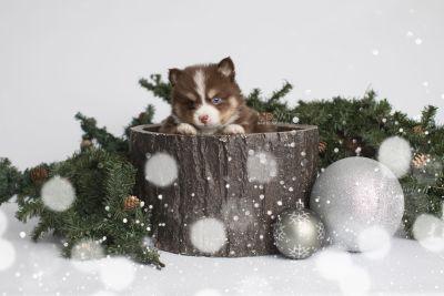 puppy153 week5 BowTiePomsky.com Bowtie Pomsky Puppy For Sale Husky Pomeranian Mini Dog Spokane WA Breeder Blue Eyes Pomskies Celebrity Puppy web1